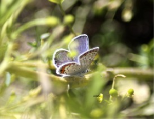Karner Blue Butterfly | Photos and Images | Animals