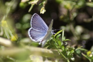 Karner Blue Butterfly 2 | Photos and Images | Animals