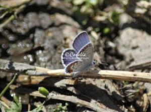 Karner Blue Butterfly 3 | Photos and Images | Animals