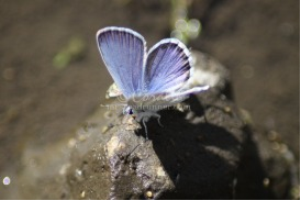 karner Blue Butterfly 4 | Photos and Images | Animals