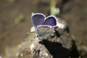 karner Blue Butterfly 5 | Photos and Images | Animals