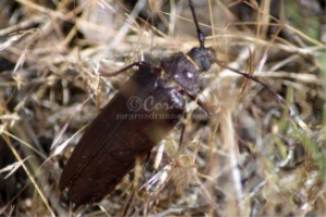 Pine Sawyer Beetle | Photos and Images | Animals