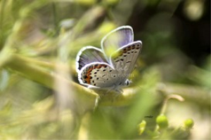 karner Blue Butterfly 6 | Photos and Images | Animals
