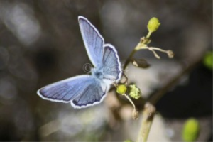 karner Blue Butterfly 7 | Photos and Images | Animals