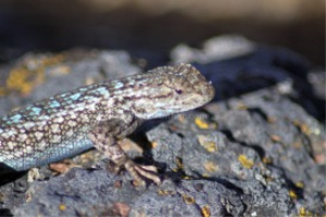 Western Fence Lizard | Photos and Images | Animals
