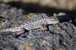 western Fence Lizard 2 | Photos and Images | Animals