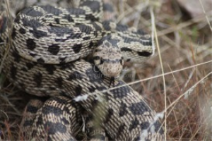 Wild Oregon Snake | Photos and Images | Animals