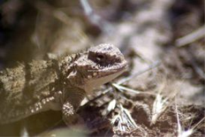 Pygmy Horned Lizard series #1of 6 | Photos and Images | Animals
