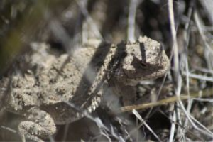 Pygmy Horned Lizard series #3 of 6 | Photos and Images | Animals