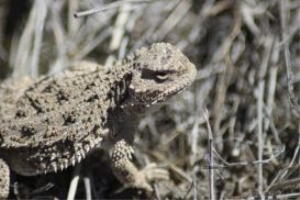 Pygmy Horned Lizard series #5 of 6 | Photos and Images | Animals