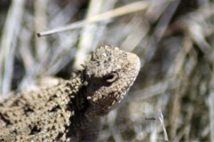 Pygmy Horned Lizard series #6 of 6 | Photos and Images | Animals