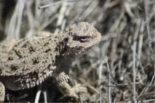 First Additional product image for - Pygmy Horned Lizard Series 6 Photographs