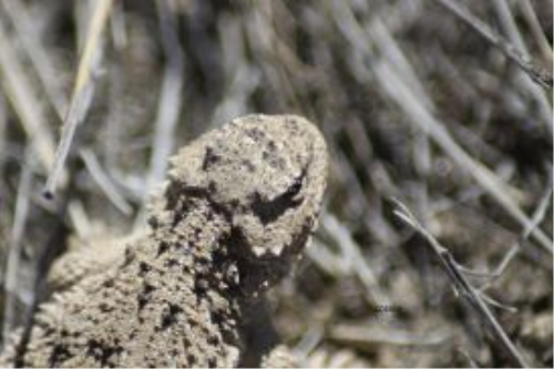 Second Additional product image for - Pygmy Horned Lizard Series 6 Photographs