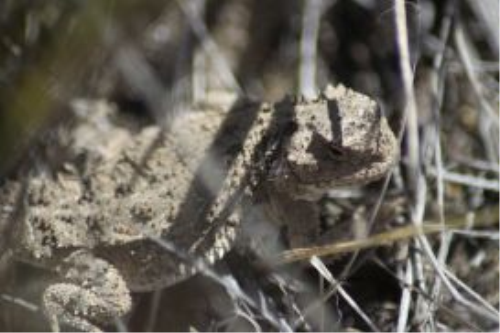 Third Additional product image for - Pygmy Horned Lizard Series 6 Photographs
