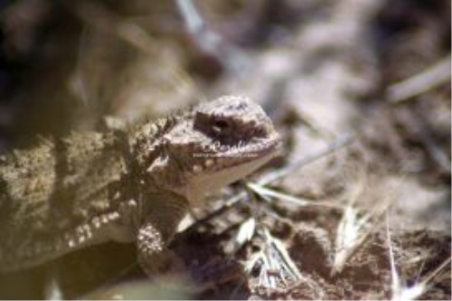 Fourth Additional product image for - Pygmy Horned Lizard Series 6 Photographs