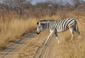 Zebra crossing | Photos and Images | Animals