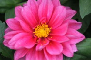 yellow centered pink dahlia flower | Photos and Images | Botanical