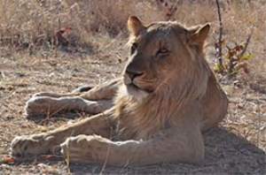 Young african lion | Photos and Images | Animals