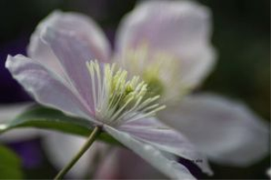 the clematis flower by coralie