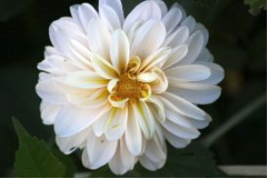 white dahlia flower by coralie