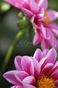 pink dahlia flowers by coralie