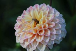 honeybee working on a dahlia flower bloom 012 | Photos and Images | Animals