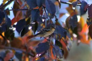 yellow rumped warbler 555   Photos and Images   Animals