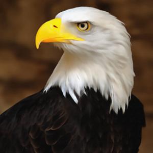 bald eagle digital painting
