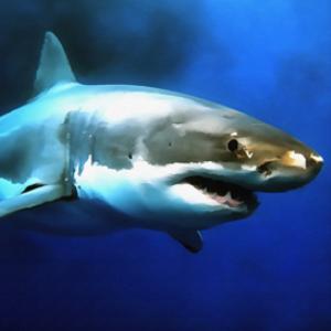 great white shark digital painting
