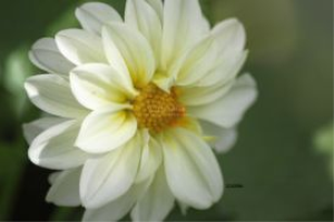 soft yellow white dahlia flower by coralie