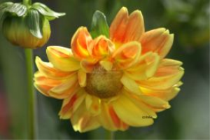 yellow red dahlia flower by coralie