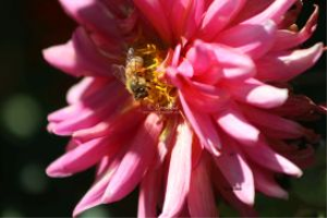 honeybee working on dahlia flower 144 | Photos and Images | Animals