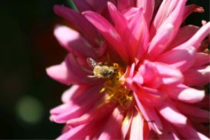 honeybee working on dahlia flower   Photos and Images   Animals