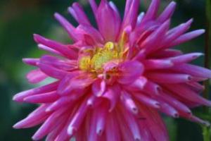 Crazy Pink Dahlia Flower | Photos and Images | Botanical