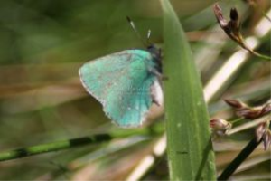 green hairstreak butterfly | Photos and Images | Animals