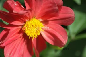 red dahlia flower by coralie