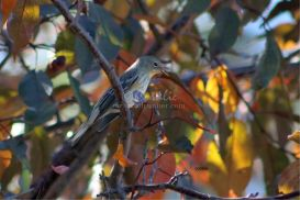 yellow rumped warbler 7 | Photos and Images | Animals