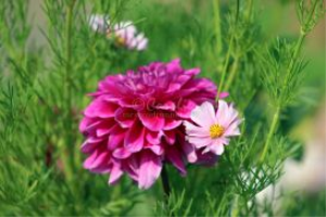 cosmos blooming with a dahlia flower