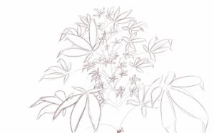 cannabis bush_001