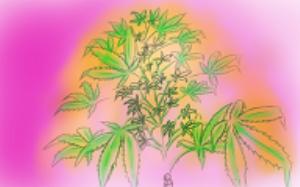 cannabis bush_026