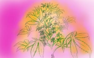 cannabis bush_027