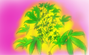 cannabis bush - pink and yellow