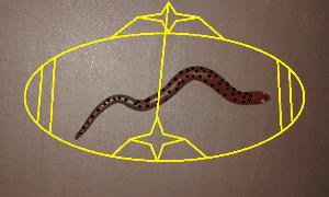 smooth viper
