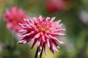 dahlia flower 19 | Photos and Images | Botanical