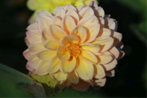 dahlia flower bloom 17