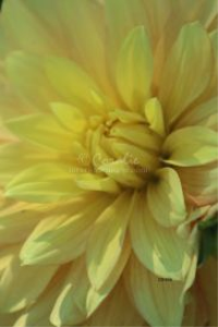 yellow dahlia flower bloom 6