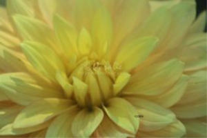 yellow dahlia flower bloom 5