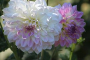 dahlia flower blooms 3 | Photos and Images | Botanical