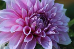 dahlia flower bloom 16