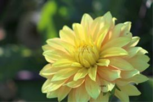 yellow dahlia flower bloom 3